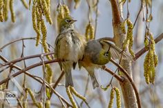 Silvereyes by scsutton. Please Like http://fb.me/go4photos and Follow @go4fotos Thank You. :-)