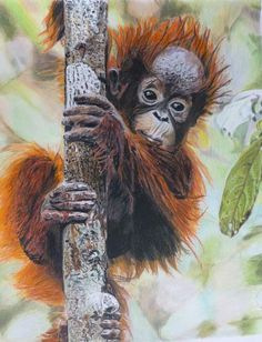 Orangutan- Bernd Huss