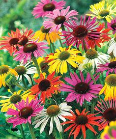 Look at this Spring Hill Nursery Live Mixed Coneflower Plant - Set of Three on #zulily today!