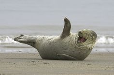 """2. Februar 2007  """"Lachende"""" Robbe auf Helgoland: Auf der Insel befindet sich eine große Kegelrobben- und Seehunde-Kolonie (Foto von: Eingesandt von: Polarfoto)"""