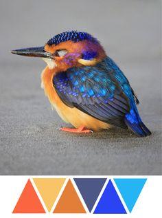 baby kingfisher, bird, feathers, blue, orange, grey