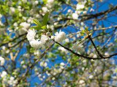 Blüte im Englischen Garten München