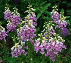 """Digitalis Camelot Lavender  Common Name:Foxglove  HardinessZone:  4-8S / 4-8W  Height:4'  Deer Resistant:Yes  Exposure:Part Shade  Blooms In:June-July  Spacing:18-24"""""""