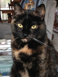 """""""Tortitude"""" -- The Unique Personality of Tortoiseshell Cats: Fact or Fiction? I have three torties and yes, they definitely meet the criteria - strong-willed, fiercely independent, possessive of their human, and talkative. Beautiful Cats, Animals Beautiful, Cute Animals, Animals Images, Gato Calico, Calico Cats, Gatos Cool, Cat Facts, Domestic Cat"""