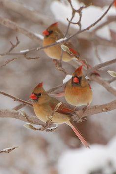 Bird Photo Winter Snow Cardinals Fine Art Color by FeathersAndFlora