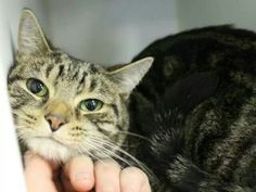 Please save sweet kitty Mittens from death at the ACC shelter in New York City URGENT visit pets on death row on Facebook She is doomed to die tomorrow afterNOON