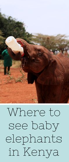A visit to the Sheldrick Elephant Orphanage when in Kenya is a must! You can adopt one of these orphaned elephants, many of whom lost their mothers to illegal poaching, for just $50 USD.