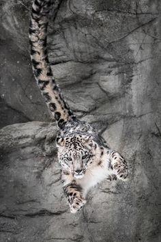 snow leopard image