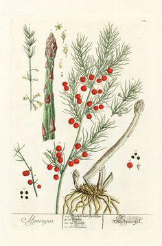 Elizabeth Blackwell Herbarium Prints 1757  Asparagus