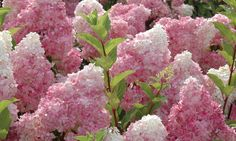 (Must See) The Most Spectacular Flower In The World- Hydrangea Macrophylla Hydrangeas are one of the most beautiful flowers. Inflorescence in the genus Hydra...