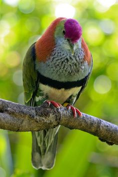 Beautiful Fruit Dove - The fruit doves are a genus in the pigeon and dove…