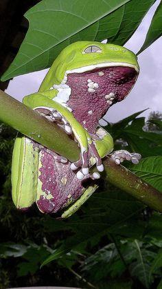 Phyllomedusa bahiana