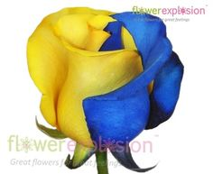 Blue & Yellow Tinted Rose. Go Bruins! Add some color to your UCLA football parties!
