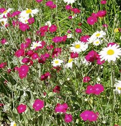 Rose Campion  and Daisies
