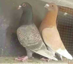 Pigeon Racing Pigeon Lofts, Pigeon Pictures, Homing Pigeons, Khalid, Pet Birds, Farms, Animals And Pets, Pigeon, Pets
