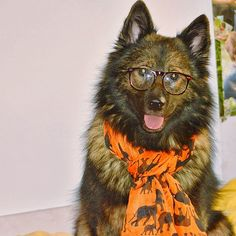 Hipster Keeshond