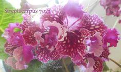 Streptocarpus 7023