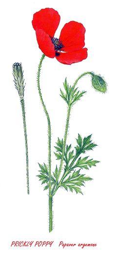 Prickly Poppy Image Notes, Poppy, Plants, Plant, Poppies, Planets