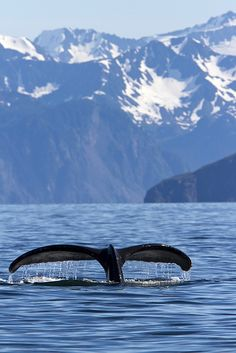 Humpback whale, Kenai Fjords National Park near Seward, Alaska with Chugach range in background; photo by Brett Nickeson