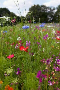 Wild Flowers Inspiration : Wild flower meadow with corn cockles poppies etc.tn - Leading Flowers Magazine, Daily Beautiful flowers for all occasions Wild Flower Meadow, Meadow Flowers, Wild Flowers, Beautiful Flowers, Meadow Garden, Plantation, Gras, Belleza Natural, Beautiful Gardens