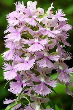 Platanthera grandiflora, Large Purple Fringed Orchid in habitat, Chattahoochee National Forest, Lumpkin County, Georgia