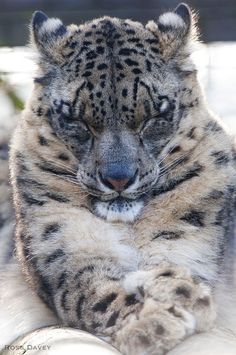 One Beautiful Clouded Snow Leopard Resting its Eyes.