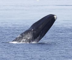Critically endangered whales sing like birds; New recordings hint at rebound
