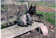 "Sky plumdragon- a true ""Toto"" dog"
