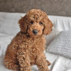 Poodle miniature, apricot, puppy,Nico,2 months https://www.facebook.com/niconki/