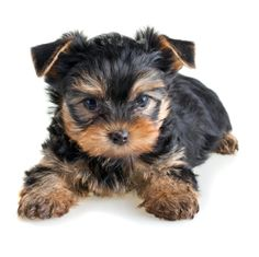 #Yorkie cutie pie