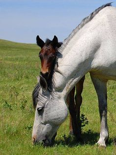 Wild Gray Mustang Mare, Her Newborn Foal Standing Very Close to Her.