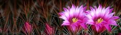 Pink Cactus Flowers and Thorns Header