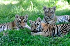 The Wildlife Conservation Society's Bronx Zoo roared with new activity last week as three Amur Tiger cubs born in April made their public debut. The cubs, one male and two females, are vitally important to the future of wild Tigers:. Cute Tiger Cubs, Cute Tigers, Tiger Tiger, Bengal Tiger, Bronx Zoo, Baby Animals Pictures, Cute Baby Animals, Wild Animals, Bodega Cat