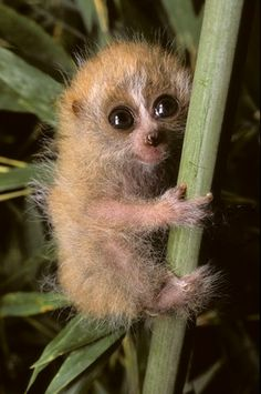 Pygmy Slow Loris!