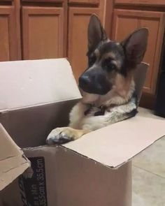 """Chilling in a box when he suddenly hears """"Let's go on a walk!"""" http://ift.tt/2ouY7yG"""