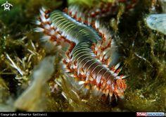 Bearded fireworm  in Siracusa - Sicily - Italy