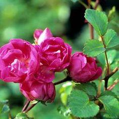 Marktäckande ros LITTLE MISCHIEF('Baiief') Espadrilles, Flowers, Plants, Espadrilles Outfit, Florals, Plant, Flower, Bloemen, Planting