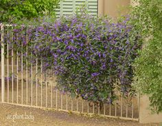 A Lilac for the Desert? Another Great Lesser-Known Plant to Try--Purple Lilac Vine (Hardenbergia violacea) Fence Landscaping, Backyard Fences, Garden Fencing, Pool Fence, Farmhouse Landscaping, Backyard Ideas, Garden Tools, Porches, Evergreen Vines