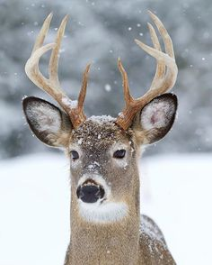 Deer in the Snow - Photo by ©Jim Cumming #WildlifePlanet