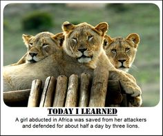 A girl abducted in Africa was saved from her attackers by 3 lions!