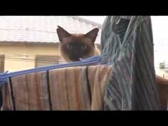 Epic cat jump fail - Sail version  this is the funnest freaking thing ever. watch it.  you'll be glad you did. You better watch this video this very instant. I have watched the 17.3 billion times and I laugh my head off each time! You are seriously the most stupidist person if you don't watch this. STOP READING THIS AND WATCH THE BEST VIDEO YOU WILL EVER SEE IN YOU WHOLE. FREAKING. LIFE.