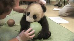Baby Panda won't let go of his favorite toy. Now WATCH his reaction when they try to take it away…
