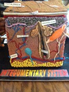 Here is a 3D homemade creation of an integumentary system (layers of the skin) For this 3D model, materials from our local arts and crafts stores were purchased, such as Styrofoam block, polymer clay of various colors, styrofoam safe spray paint, felt sheets, and foam sheets.  Let you creativity go wild.