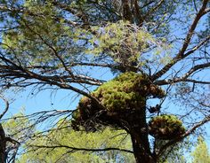 Witchs broom in pine-pjt.jpg