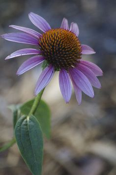Coneflower  -- by viadeb