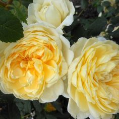 """St. Alban"" Rich yellow blooms produced on an arching bush with semi-glossy foliage."
