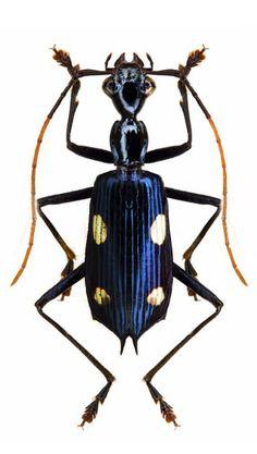 Calophaena acuminata