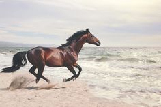 This awe-inspiring horse wallpaper wall mural of a bay horse galloping along the coast is definitely a head-turner in any room. Horse Wallpaper, Animal Wallpaper, Horse Galloping, Bay Horse, Horse Head, Chincoteague Ponies, Photo Libre, Thing 1, Wild Horses