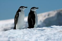 chinstrap #penguins on ice