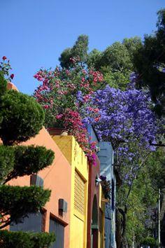 Jacaranda and Bougainvillea against colorful walls in Ajijic, MEXICO.